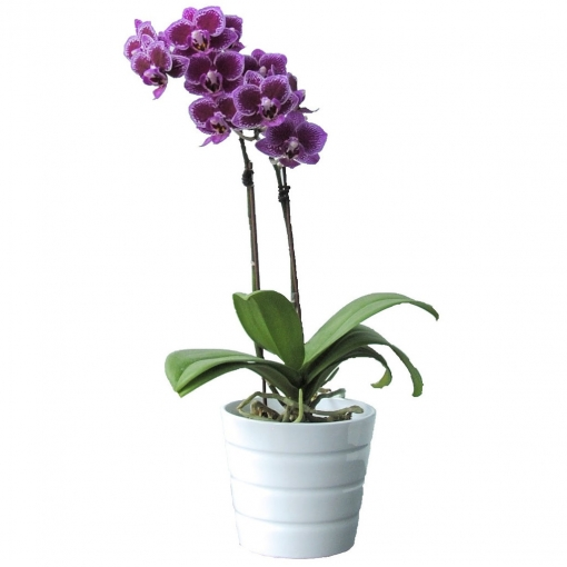 mini purple orchid mother's day